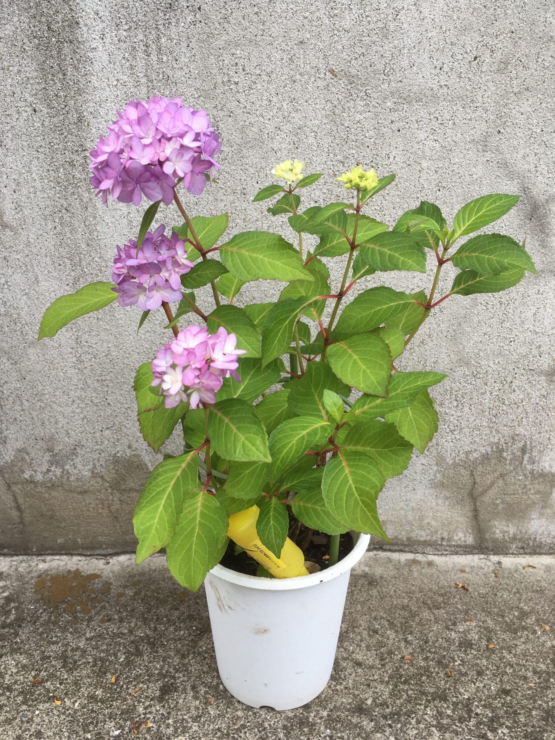 鉢植えの紫陽花