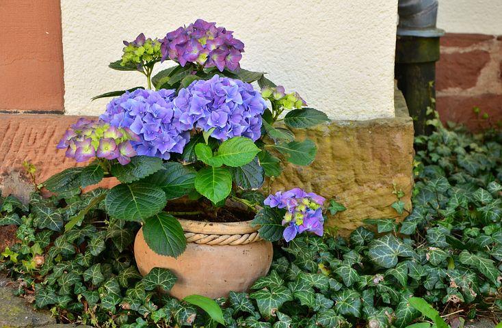 紫陽花鉢植え